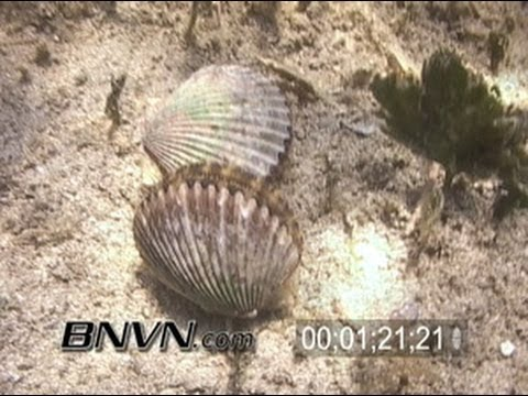 7/30/2005 Scalloping and Scallops swimming video