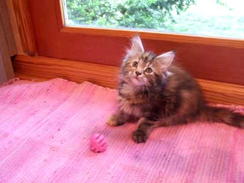 Chatty Cathy Maine Coon Kitten Video