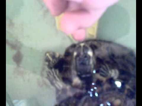 tartaruga morde dito PAPERISSIMA ANIMALI