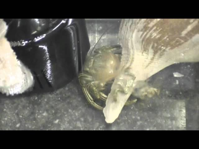 Hermit crab molt VID-BIT.wmv