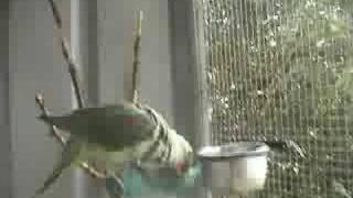 Dharma the Alexandrine Parrot