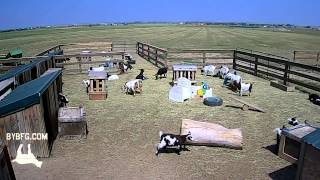 Fainting Goats Time Lapse!