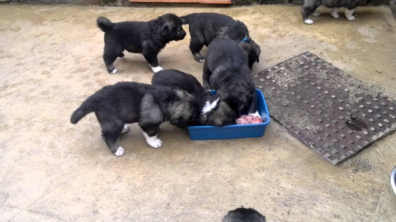 Caucasian Mountain Shepherd For Sale >> Caucasian ovcharka puppies - YouTube