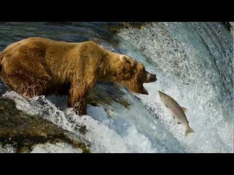 Grizzly Bears of Katmai National Park, Alaska 1080P