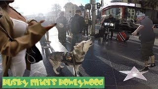 Cute Siberian Husky HOWLING At Performers STEALS THE SHOW (City Mushing Through HollyWood)