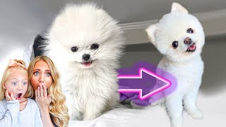 We Shaved All Of Our 3 Pound Puppy's Hair Off... (CUTEST TRANSFORMATION EVER)