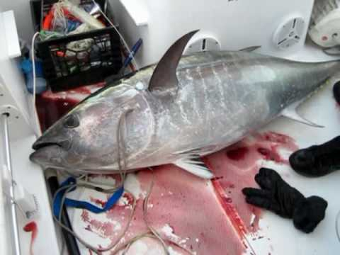Bluefin tuna fishing Stellwagen Bank