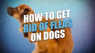 How to Get Rid of Fleas On Dogs (Cheap and Natural Way)