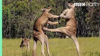 Kangaroo Boxing Fight - Life Story - BBC