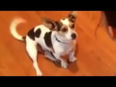 犬にニャーという鳴き方を教えてみた♪