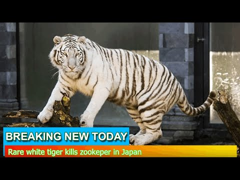 Breaking News - Rare white tiger kills zookeper in Japan