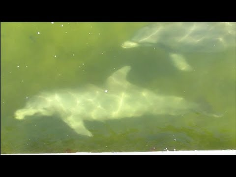 Dolphins hunting Fish at the Seawall in St. Petersburg, Florida