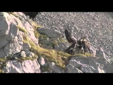 Así intenta cazar un águila a una cabra montesa
