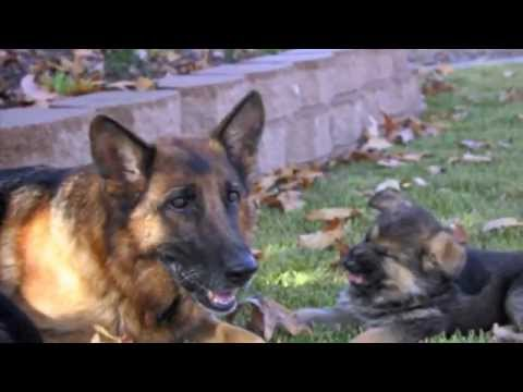 Best Dog Training Video Ever!  -  11 Week Old Trained German Shepherd Puppies! video