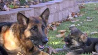 Best Dog Training Video Ever!  -  11 week old trained German Shepherd puppies!