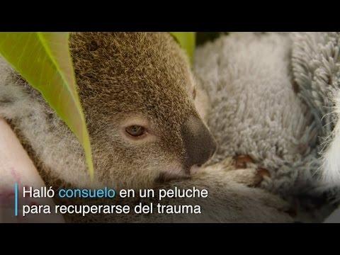 este koala se aferra a un peluche luego de la muerte de su mama