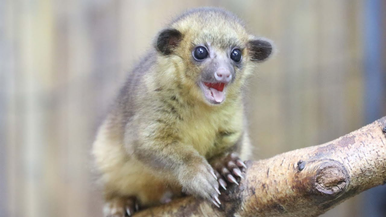 Is Forrest The Kinkajou Our Cutest Animal Ever YouTube