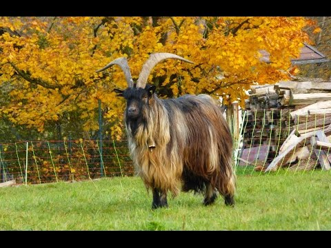 Old and rare breeds of cattle, horse, goat, sheep, pig, chicken, turkey goose duck, of livestock