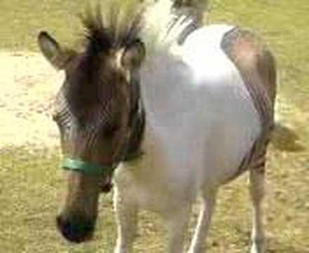 zebroid half a horse and half a zebra