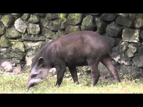 On Location: The South American Tapir