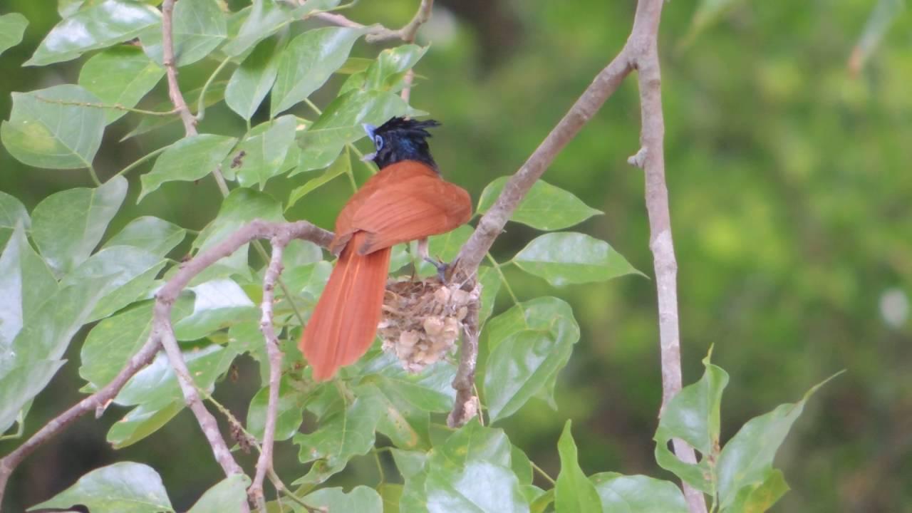Paradise flycatcher bird