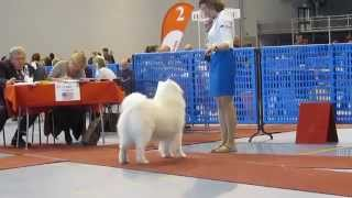 Belolakay Mark Avreliy - Lahti, samoyed male champion class - 27.04.2014