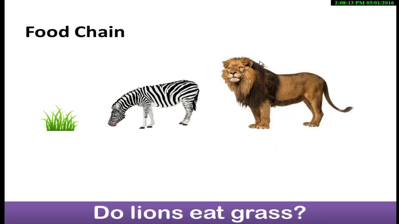 Lion food web