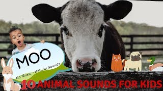 FOR KIDS: 10 FARM ANIMALS, NATURAL SOUNDS, no music - COW MOOING