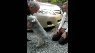 Cachorro desmaia quando fica feliz