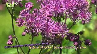 Akeleibladige Ruit - Thalictrum aquilegiifolium - Greater Meadow-rue