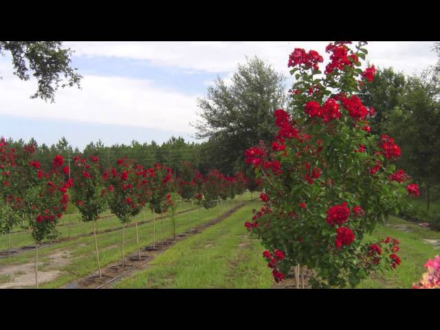 Fast Growing Dynamite Red Crepe Myrtle