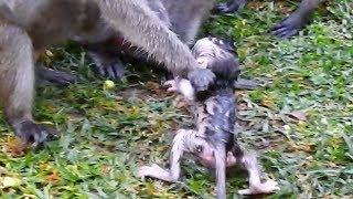 Amari Take Polly To Tear and Throw Into The Water  This Female Monkey Really Hate Baby