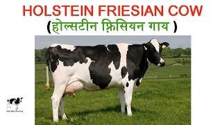 Holstein Friesian (HF): Highest Milking Cow in the World (विश्व में सर्वाधिक दूध देने वाली गाय )