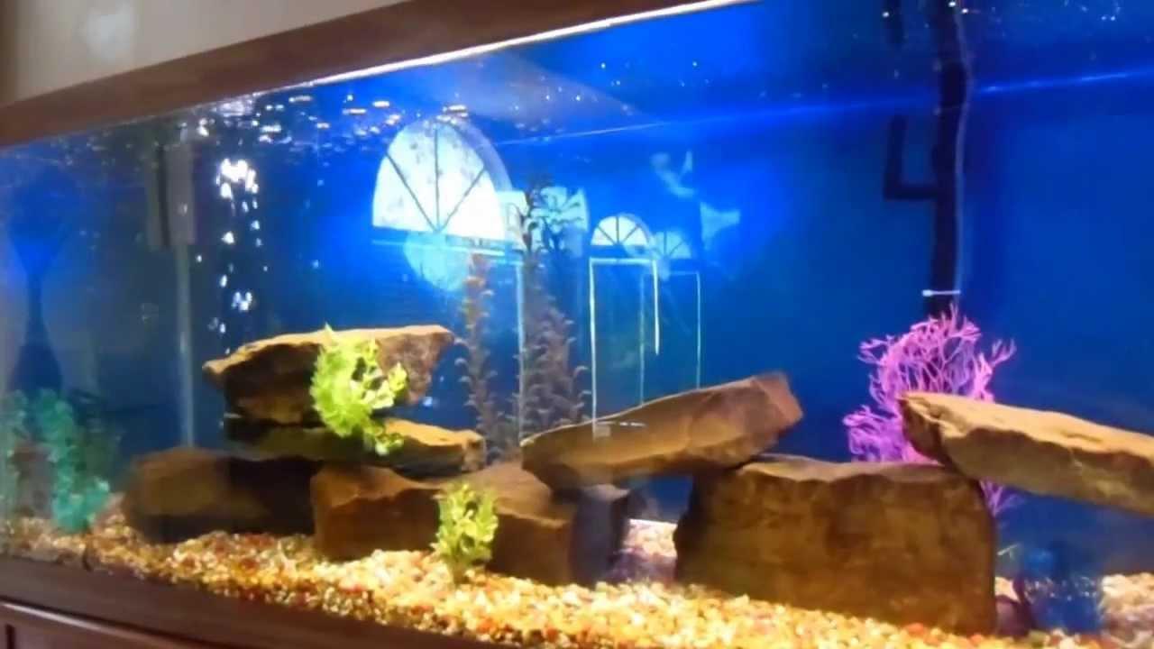 200 gallon cichlid aquarium fish tank youtube for 90 gallon fish tank dimensions