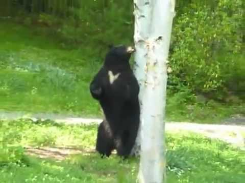 black bear scent marking in CT.mov