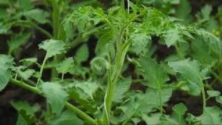 Pomidorų priežiūra: laistymas, genėjimas ir tręšimas