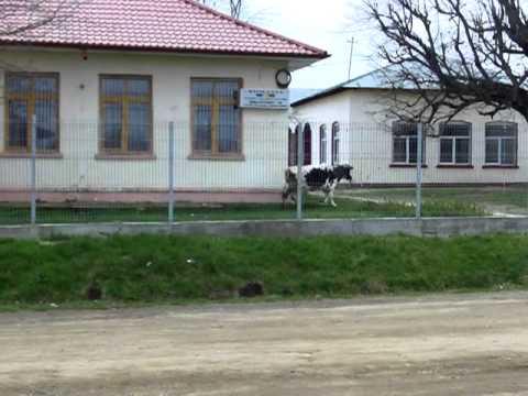 Calului I S-a Facut De Sex. Cu O Vaca... video