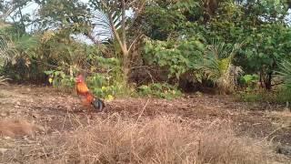 Pikat ayam hutan 2017..si kings..1.