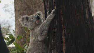 Coalas estão ameaçados por desmatamento na Austrália, alerta WWF
