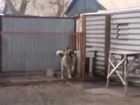 собака танцует лучше всех dancing dog