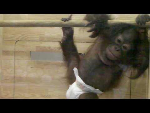 王子動物園のムム Baby Orangutan, 10months, in Kobe, Japan