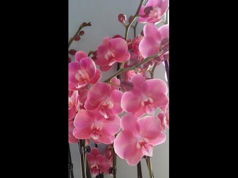 Как правильно выбрать орхидею? Выбор здоровой орхидеи.