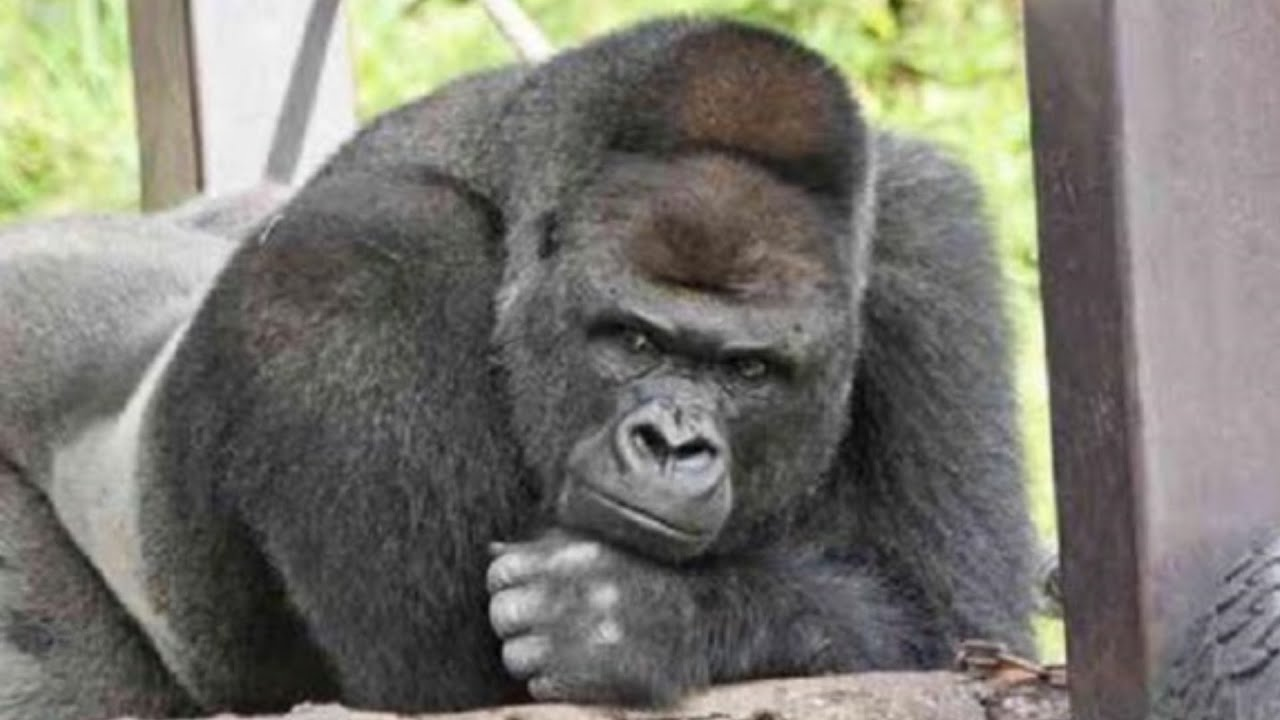 Handsome Gorilla Shabani Woos Women Of Japan - YouTube