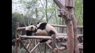 Meeting Panda Bears in Chengdu, Sichuan, China!