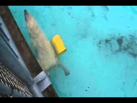 浜松市動物園 プールで遊ぶホッキョクグマのキロル午前編 2011.5.23