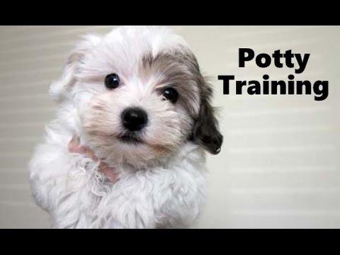 Potty training havanese elad?