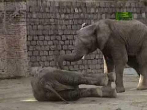 Electrocuted Elephant