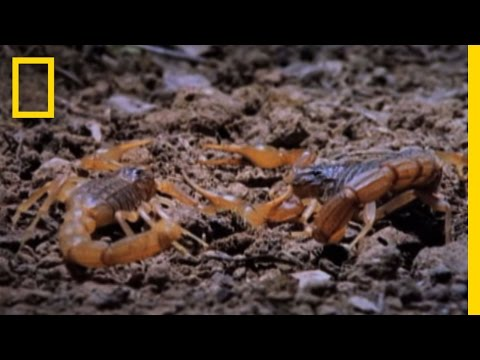 Cannibal Scorpions vs. Shrew