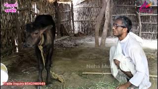 Bhojpuri Comedy | गेहूँ कांटे के नईखे लुर बलम | khesari Lal , Neha ji | HD VIDEO | khesari 2 Comedy