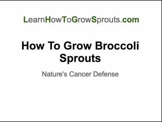 How To Grow Broccoli Sprouts